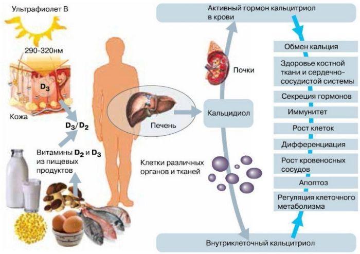 витамин Д в организме