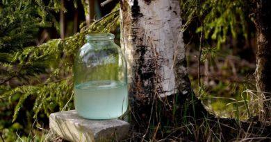 Когда и как собирать березовый сок в 2020 году в регионах